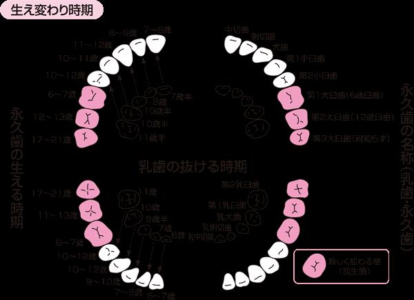 第 一 小 臼歯